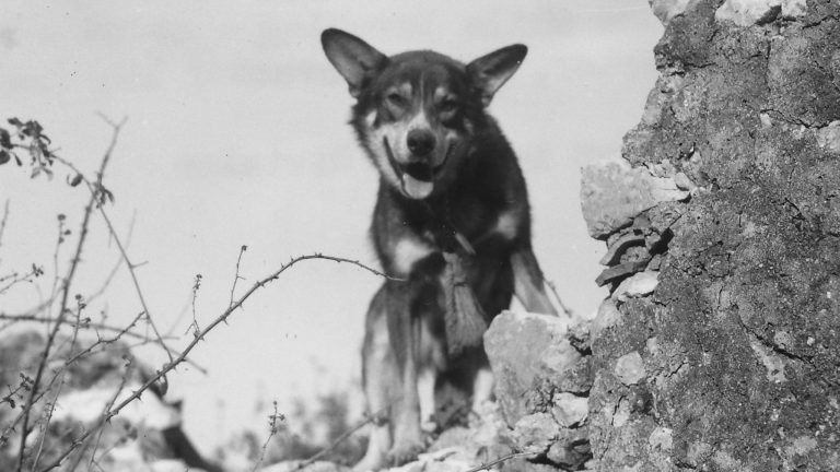 Câinele Chips, eroul de război căruia politicienii i-au retras decorațiile din invidie